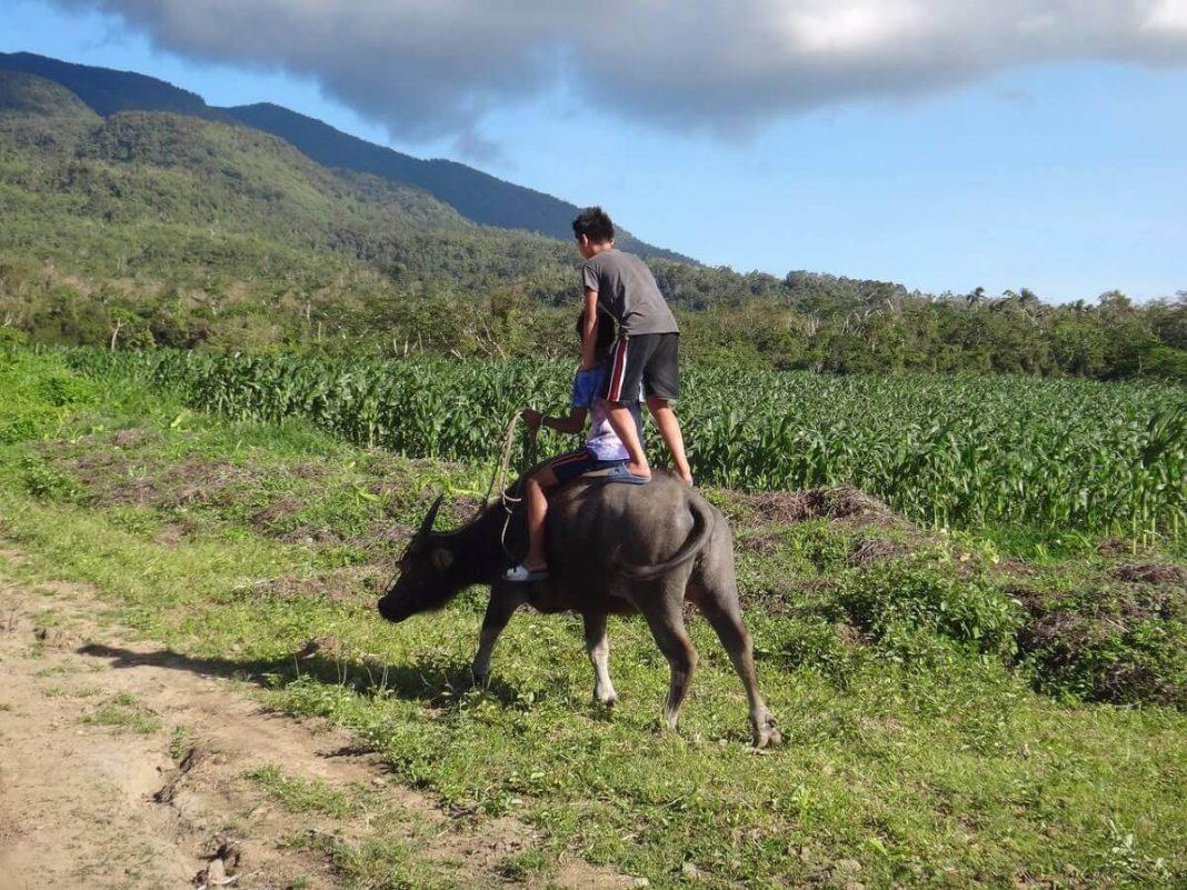 Philippine farm, carabao